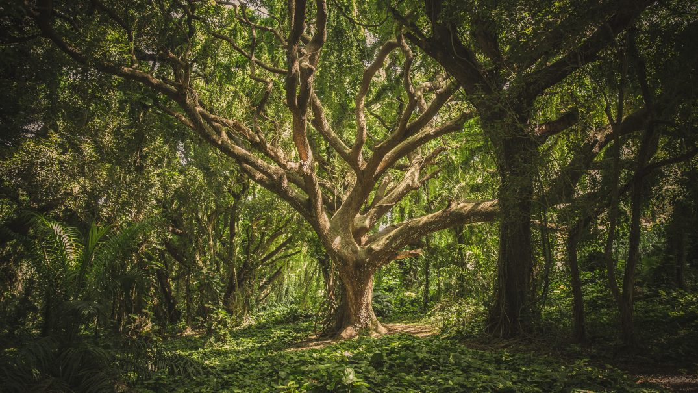 forest hawaii nature 38136 Resurse