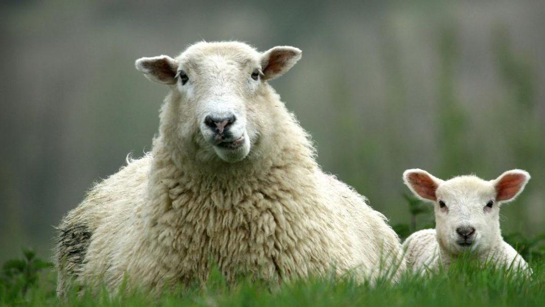 sheep1 Studii Juniori